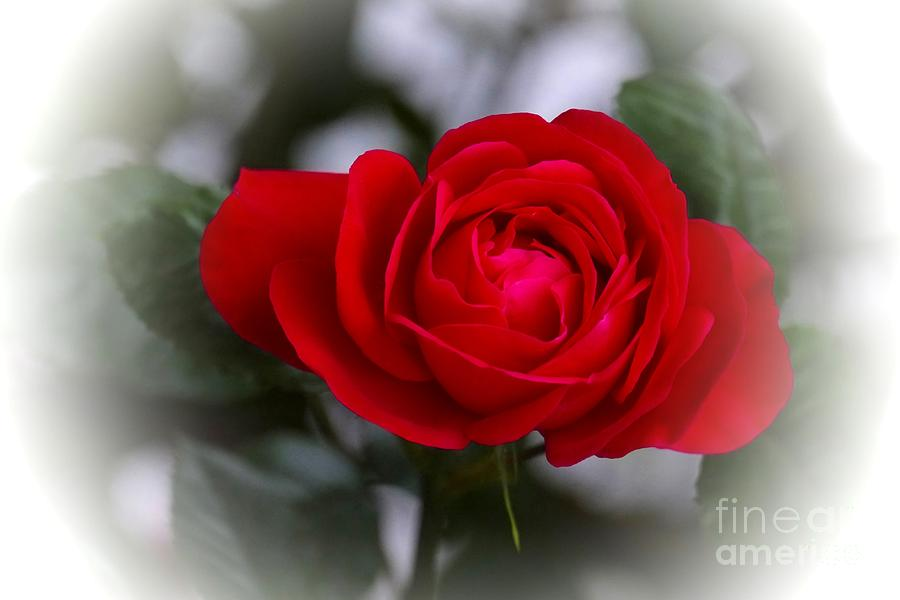 3d Photograph - Red Rose by Issabild -