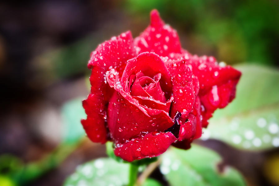 Floral Photograph - Red Rose by Mark Currier
