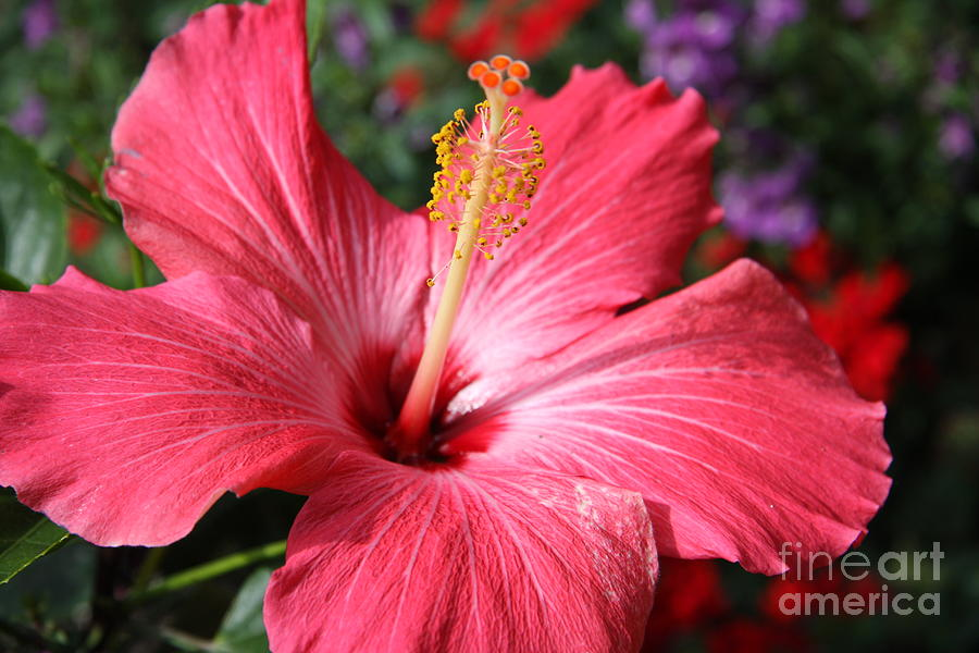 Hibiscus Photograph - Red Rose Of Sharon  by Christiane Schulze Art And Photography