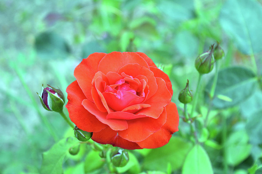 Red Photograph - Red Rose On Natural Background With Green Leaves. by Oana Unciuleanu