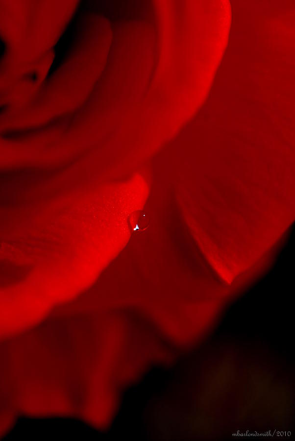 Red Photograph - Red Rose Rain Drop by Michelle  BarlondSmith