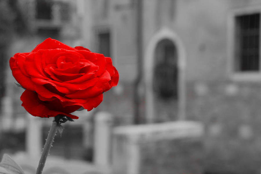 Venice Photograph - Red Rose With Black And White Background by Michael Henderson