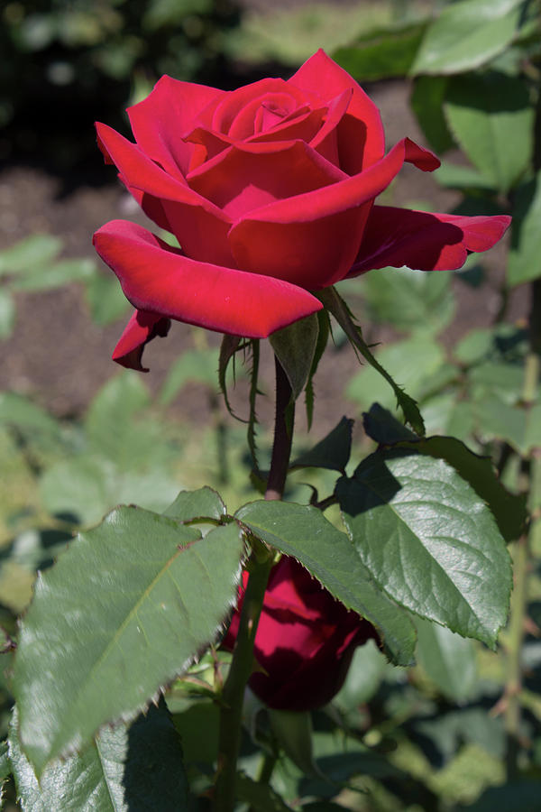 Rose Photograph - Red Rose With Stem by LaMont Johnson