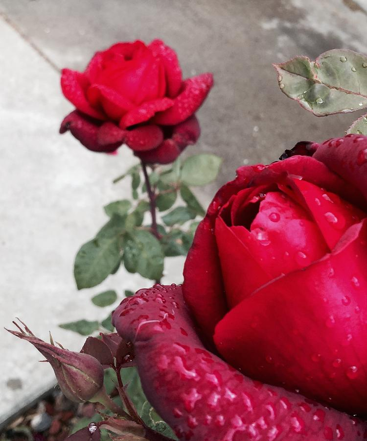 Red Photograph - Red Roses by Beverly Johnson