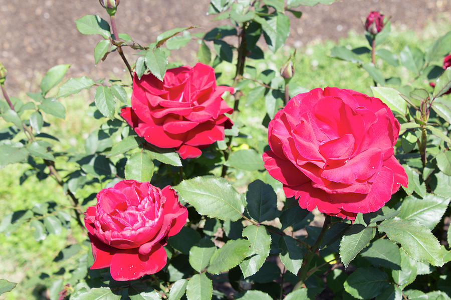 Roses Photograph - Red Roses  by LaMont Johnson