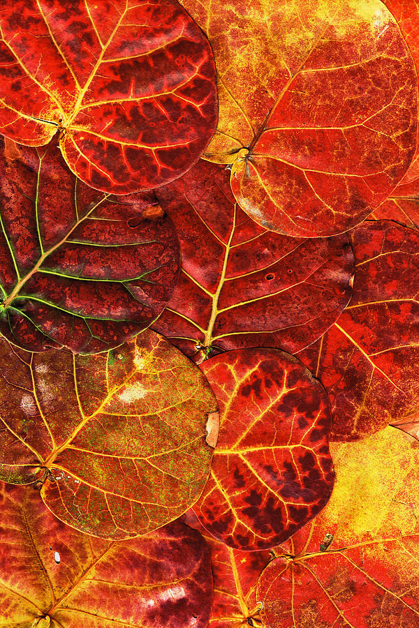 Sea Photograph - Red Sea Grapes By Sharon Cummings by Sharon Cummings