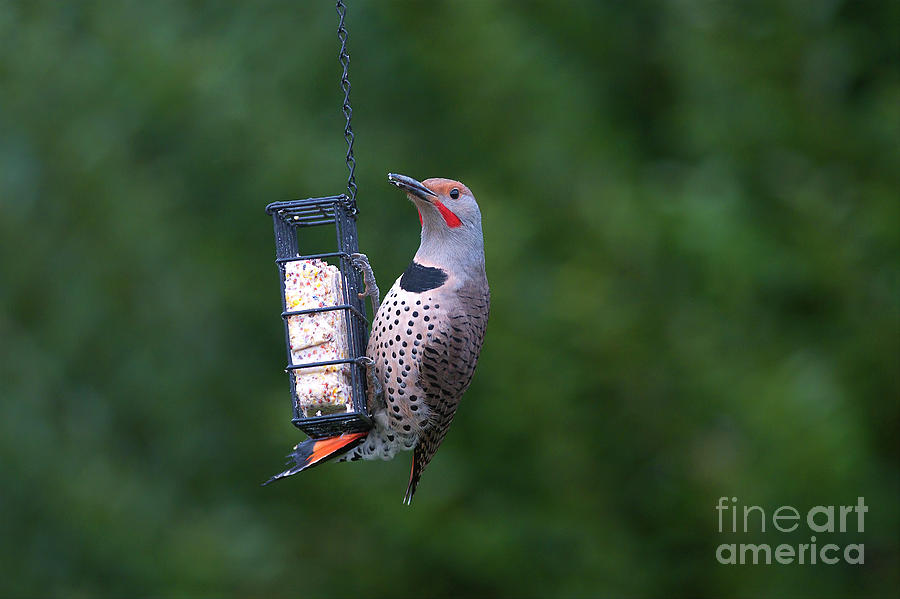 Northern Flicker Photograph - Red-shafted Northern Flicker On Suet by Sharon Talson