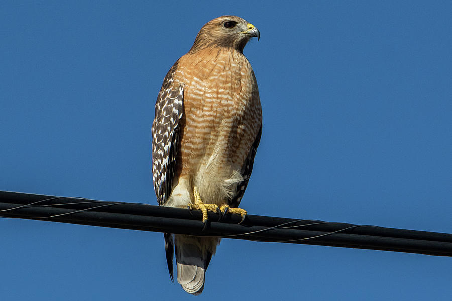 Nature Photograph - Red-shoulder Hawk by Ronnie Prcin