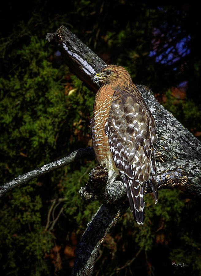 Hawk Photograph - Red-shouldered Hawk by Barry Jones
