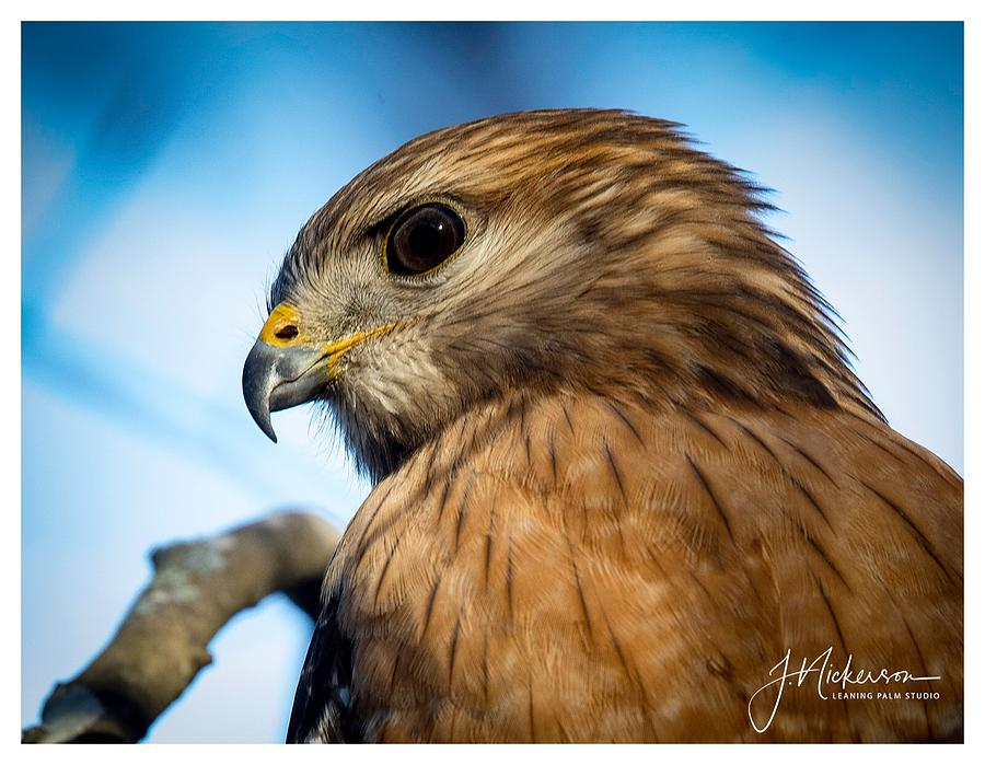Red Shouldered Hawk by John Nickerson