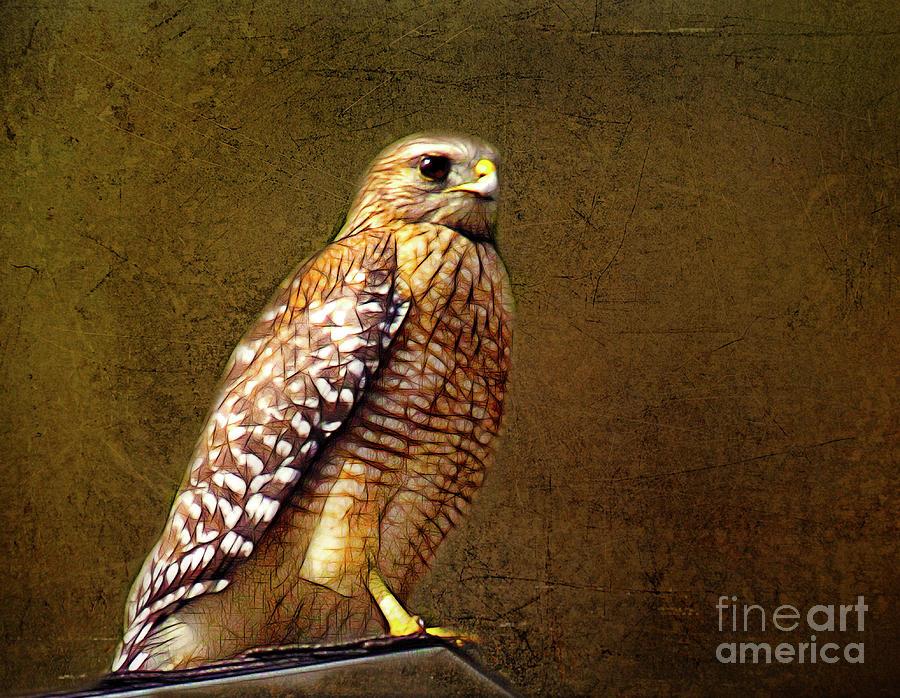 Hawk Photograph - Red-shouldered Hawk by Judi Bagwell