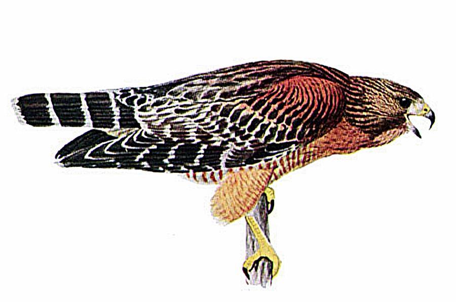For Sale Digital Art - Red-shouldered Hawk by Louis Agassiz Fuertes