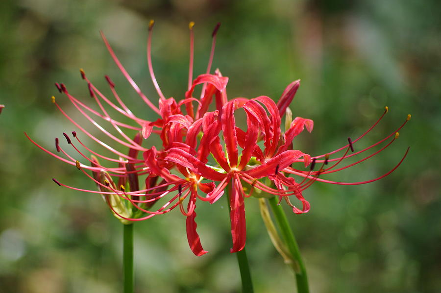 Red Photograph - Red Spider Lily by Aaron Rushin