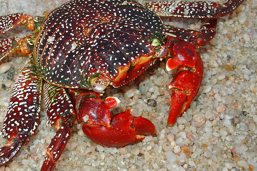 Red Photograph - Red Spotted Crab by Karon Melillo DeVega