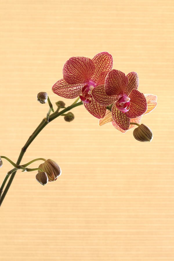 Orchid Photograph - Red Spotted Orchid 1 by Tony Ramos