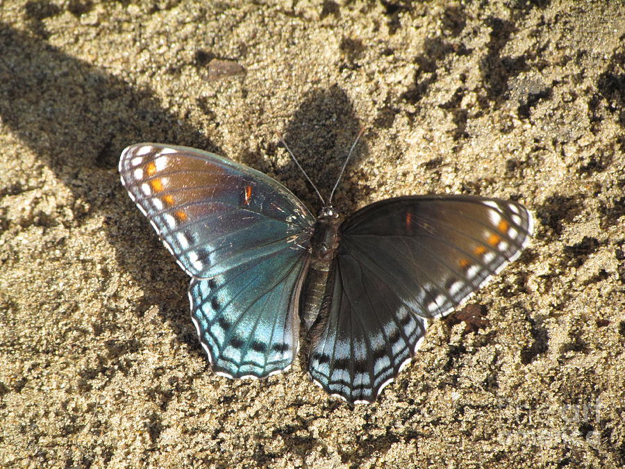 Indiana Photograph - Red-spotted Purple Butterfly by James Seitzinger