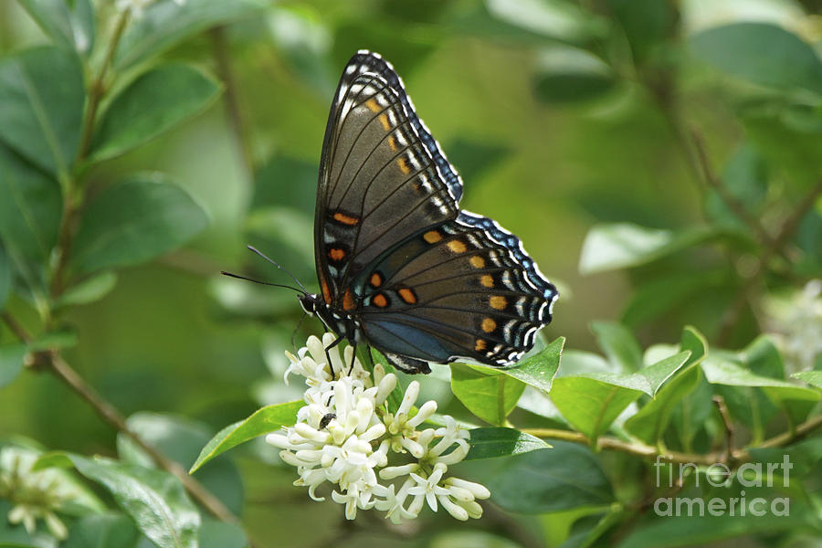 Red-spotted Purple Butterfly on Privet Flowers 2 by Robert E Alter Reflections of Infinity