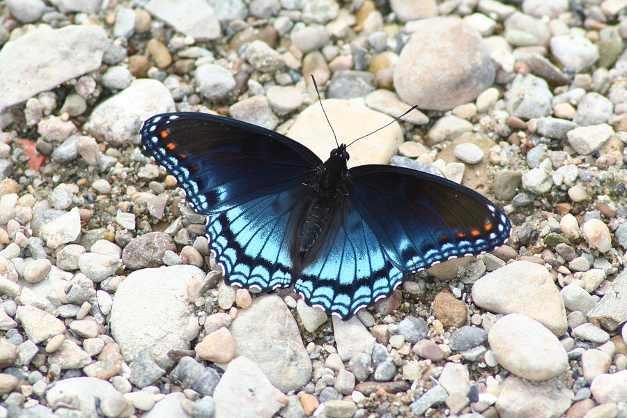 Red Photograph - Red Spotted Purple by Jeff VanDyke