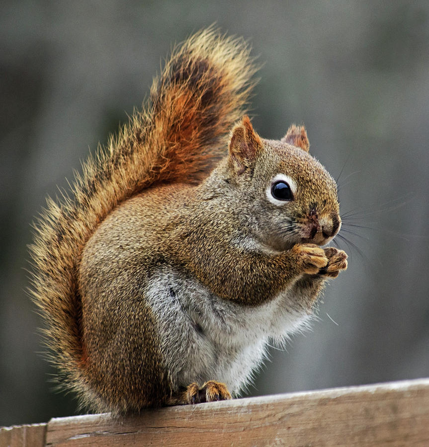 Red Squirrel on Wooden Fence by Jeff Galbraith