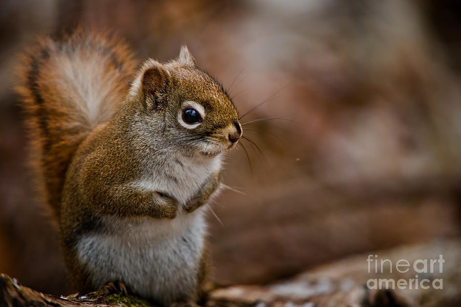 Red Squirrel Pictures 170 by World Wildlife Photography