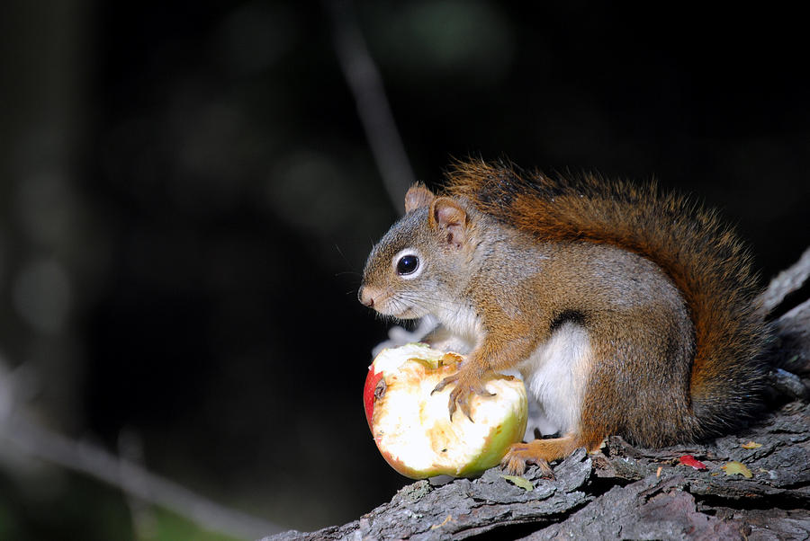 Red Squirrel Photograph - Red Squirrel by Steven Scott
