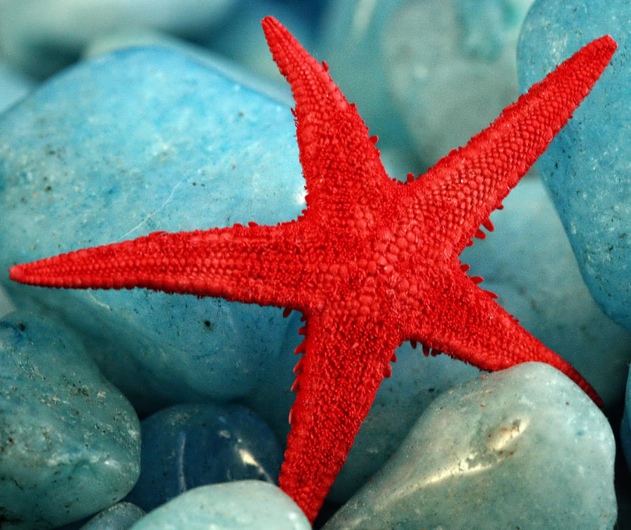 Red Photograph - Red Starfish by Gina Cormier