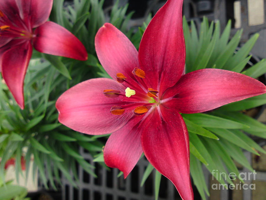 Flower Photograph - Red Stargazer Lily by DebiJeen Pencils