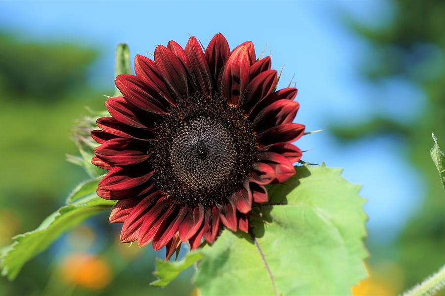 Red Photograph - Red Sunflower by Carrie Goeringer