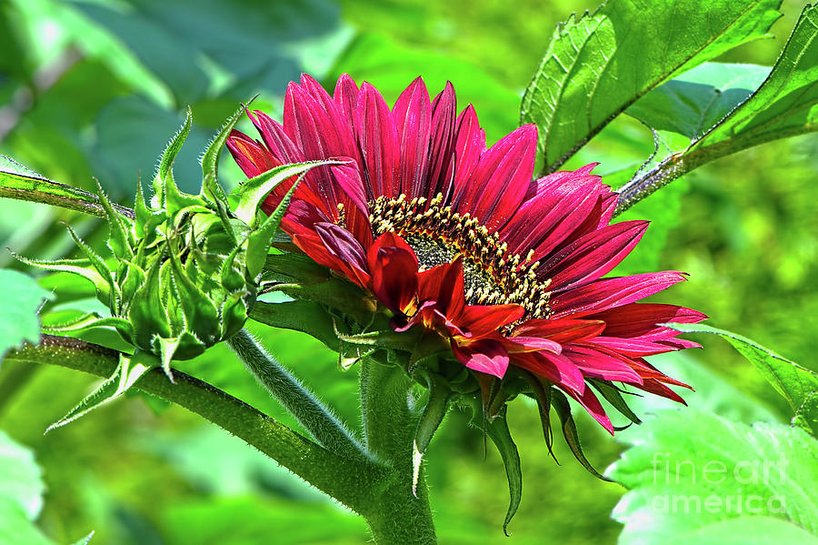 Red Sunflower Photograph - Red Sunflower by Sharon Talson