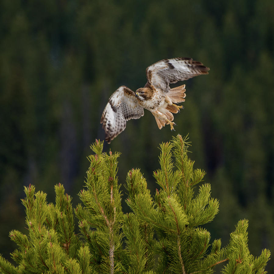 Hawk Photograph - Red-tail Flight At Sunset by Yeates Photography