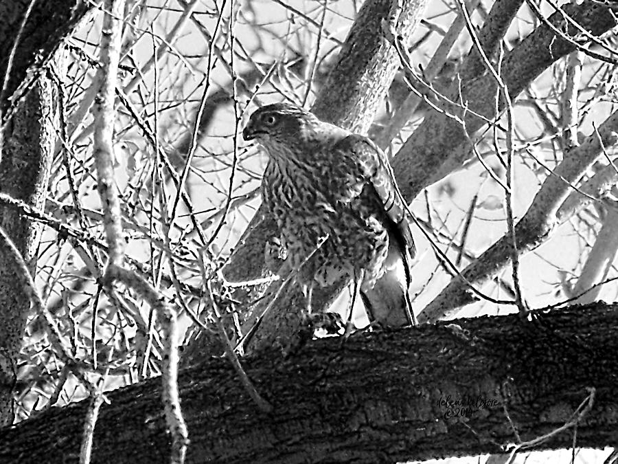 Red Tail Hawk in black and white by Deleas Kilgore