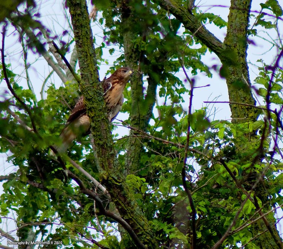 Hawk Photograph - Red Tail Hawk by Matt Steffen