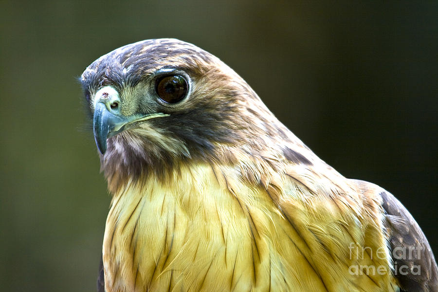 Red Tail Hawk by Photography by Laura Lee