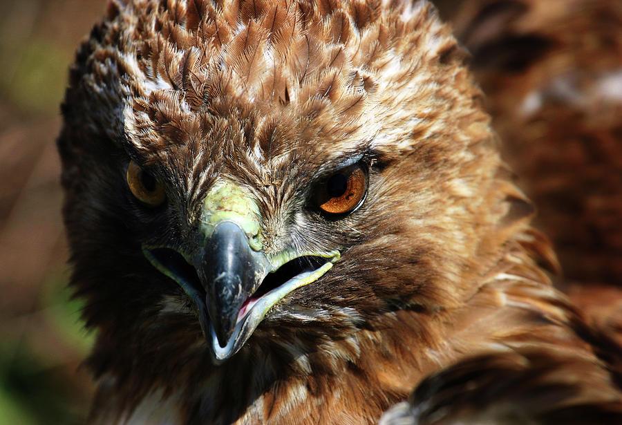 Red-tail Hawk Portrait Photograph