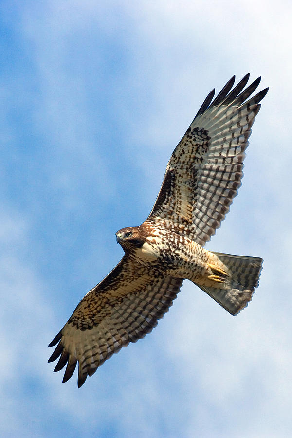 Hawk Photograph - Red Tail Hawk by Randall Ingalls