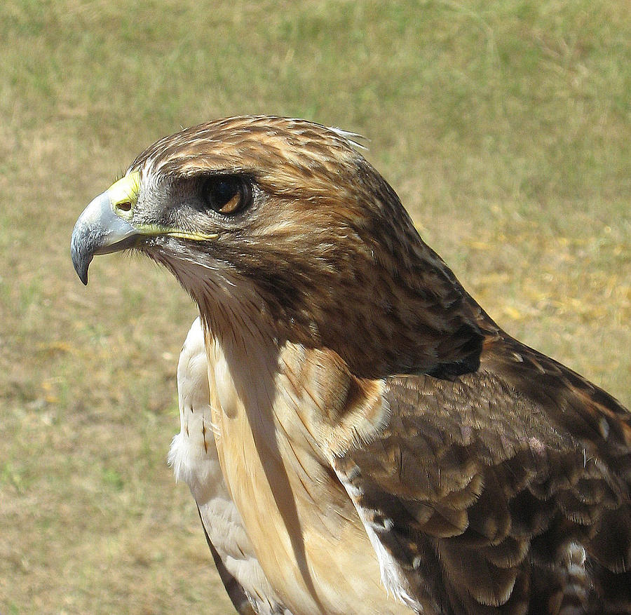 Red Tail Hawk Photograph - Red Tail Hawk by Rebecca Shupp