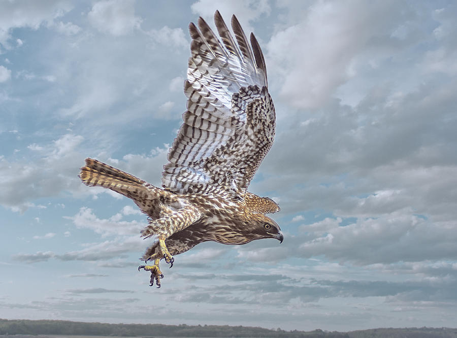 Red Tail in Flight by Rick Mosher
