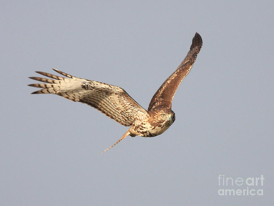 Red Tail Hawk Photograph - Red Tailed Hawk - 20100101-7 by Wingsdomain Art and Photography