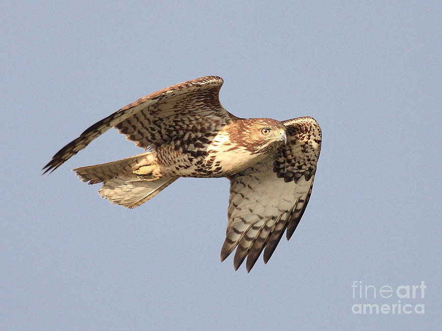 Red Tail Hawk Photograph - Red Tailed Hawk 20100101-2 by Wingsdomain Art and Photography