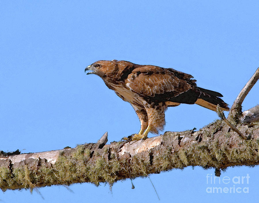 Red-tailed Hawk Photograph - Red-tailed Hawk by Betty LaRue