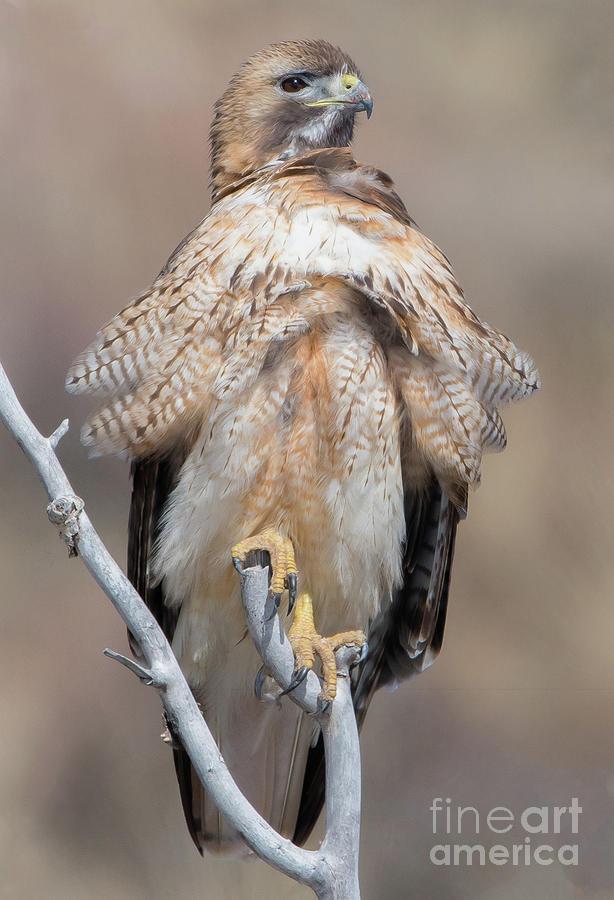 Red Tailed Hawk by Brad Schwarm