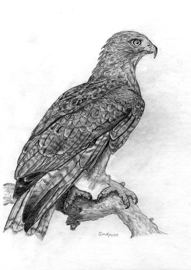 Hawk Drawing - Red Tailed Hawk by Cynthia  Lanka