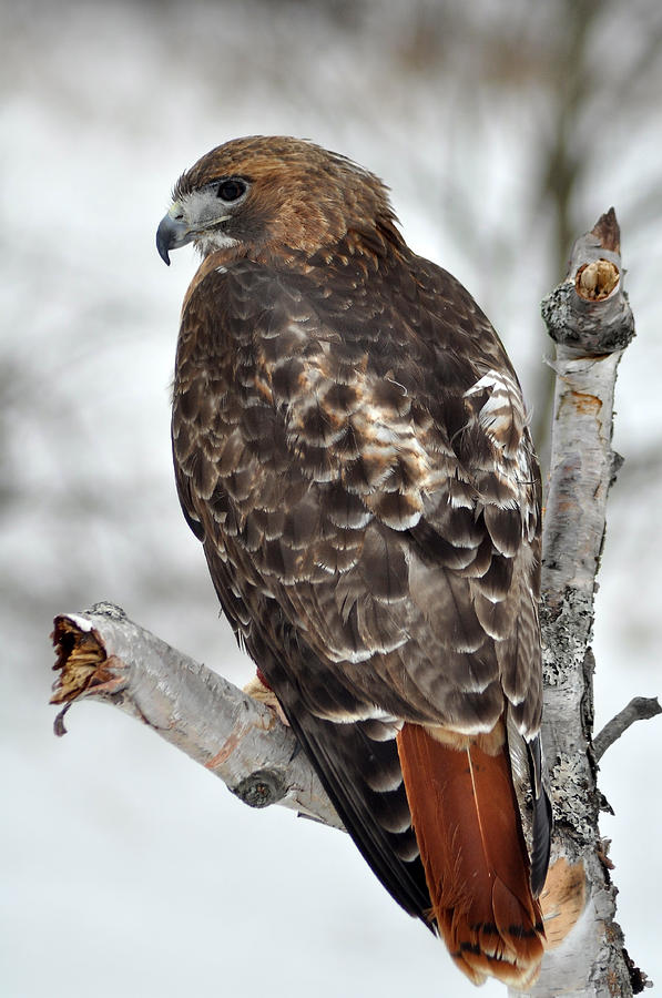 Red Tailed Hawk Photograph By Ginger Harris