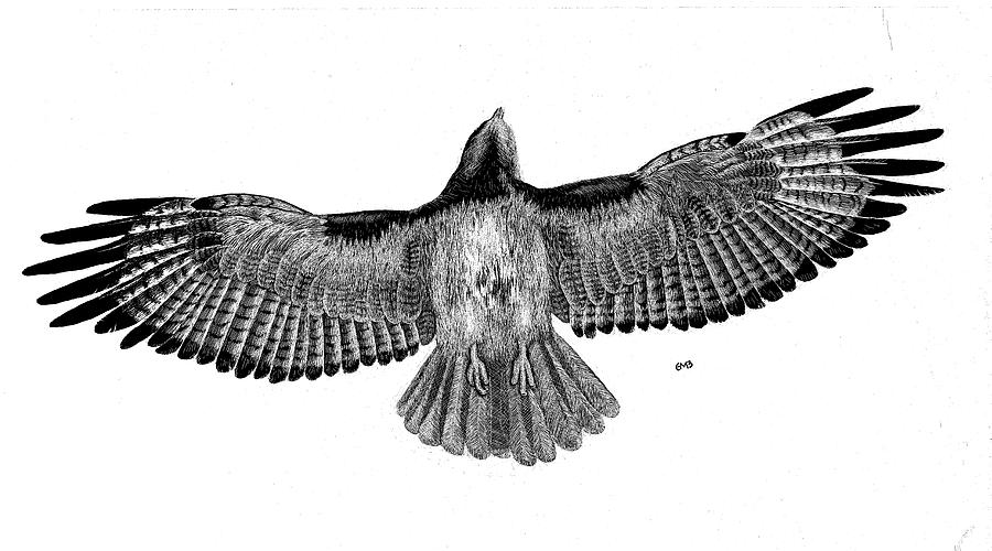 Bird Drawing - Red Tailed Hawk by Greg McBride