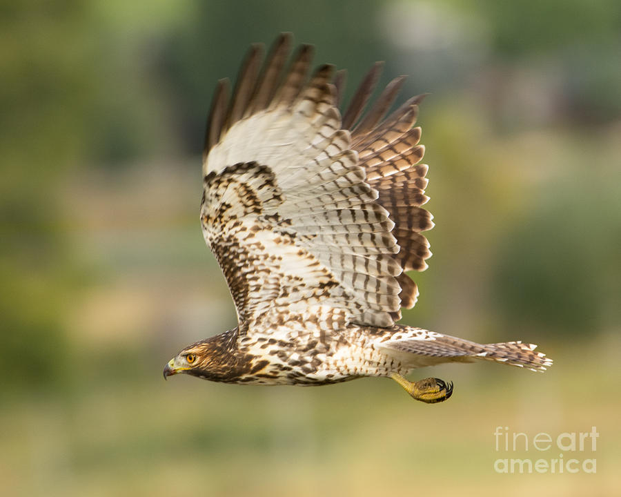 Bird Photograph - Red Tailed Hawk Hunting by Dennis Hammer
