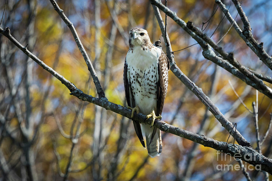 Canon Photograph - Red-tailed Hawk In The Fall by Ricky L Jones