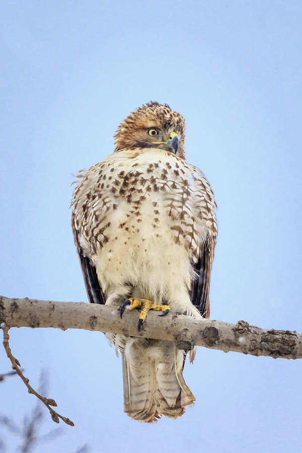 Red Tailed Hawk in Tree by Joni Eskridge