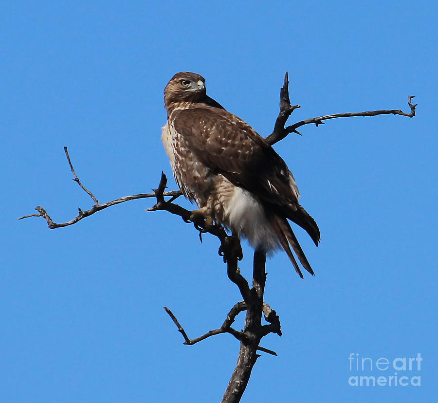 Red Tailed Hawk Photograph - Red Tailed Hawk by Kathy DesJardins