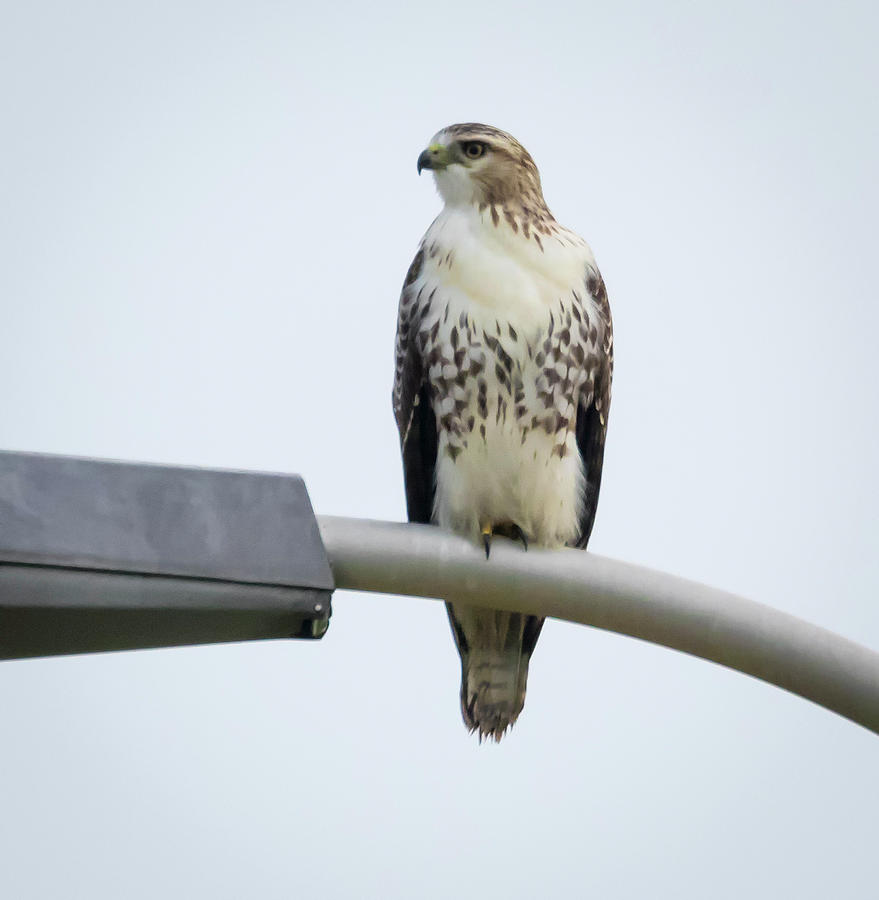 Red-Tailed Hawk Looking at me by Ricky L Jones