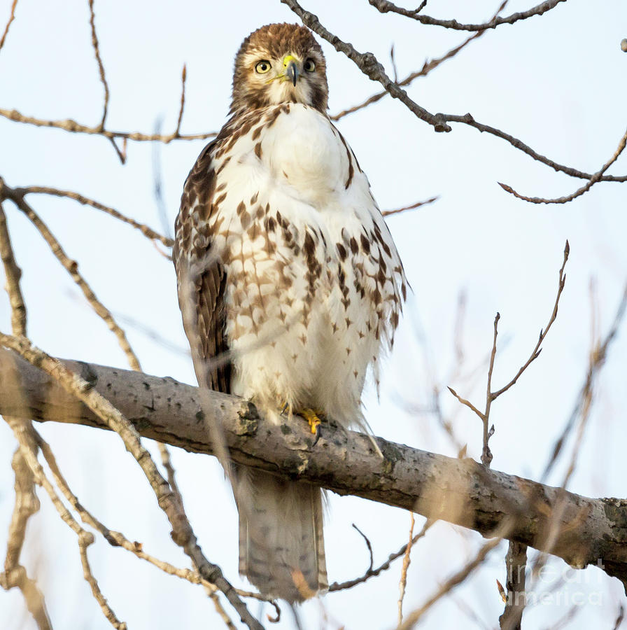Red-tailed Hawk With Full Crop Photograph